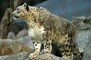 180-Snow Leopard by Tlsonic214
