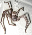 Huntsman Spider 2