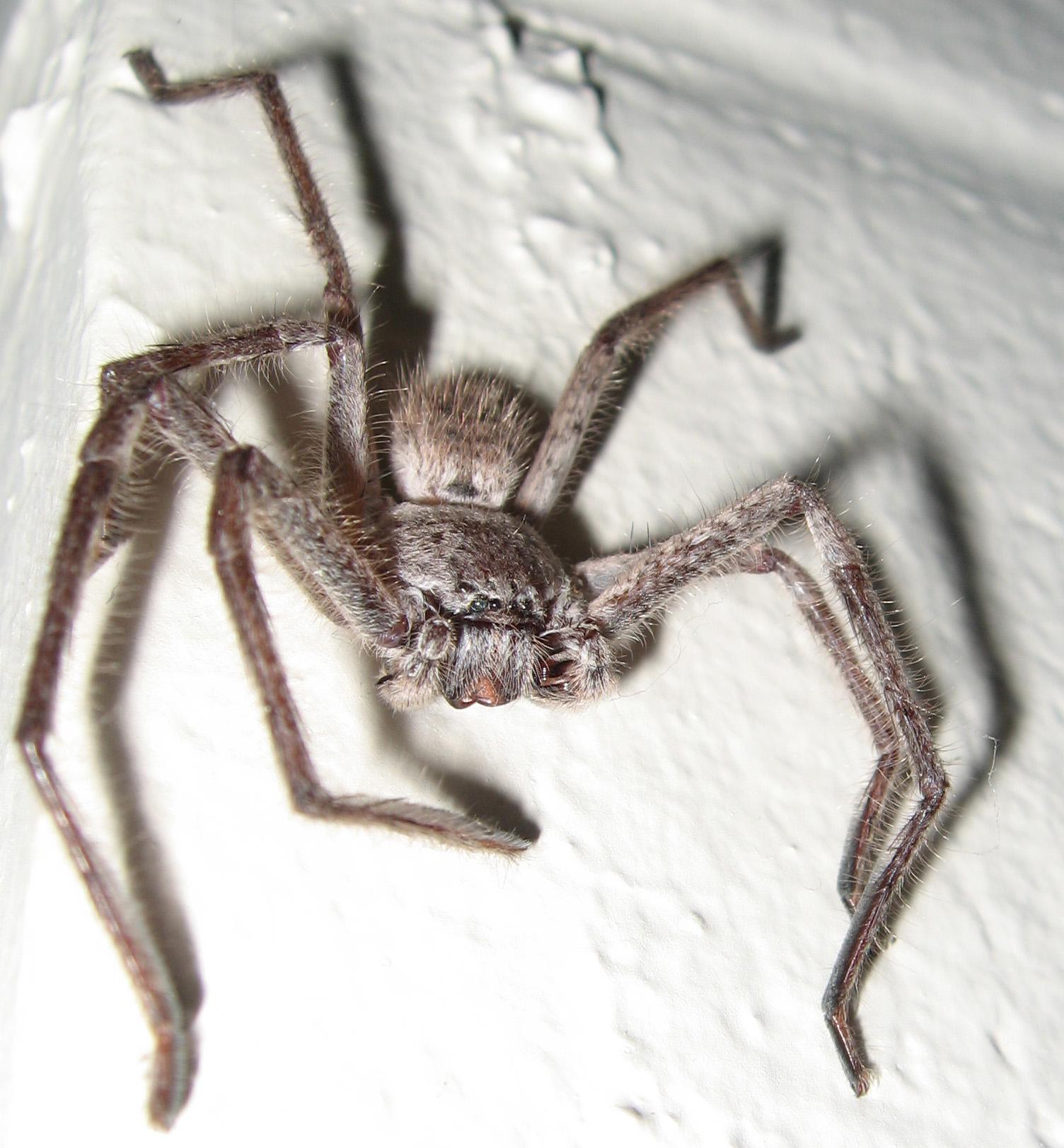 Huntsman Spider 2 by kayne-stock