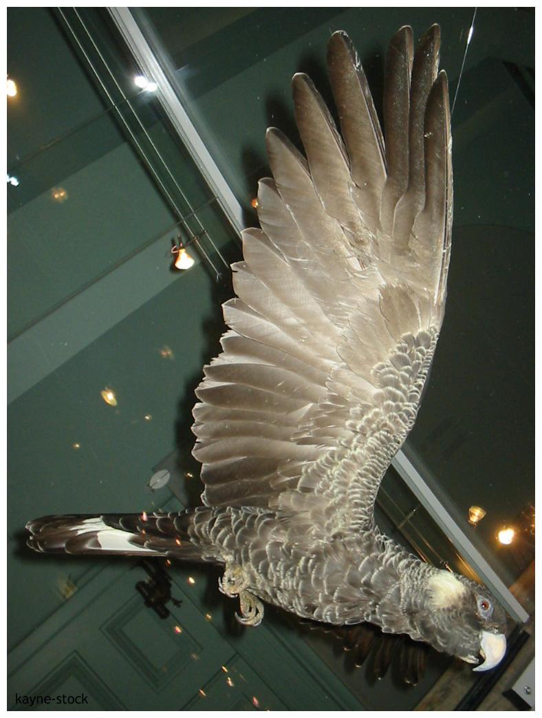 Black Cockatoo by kayne-stock