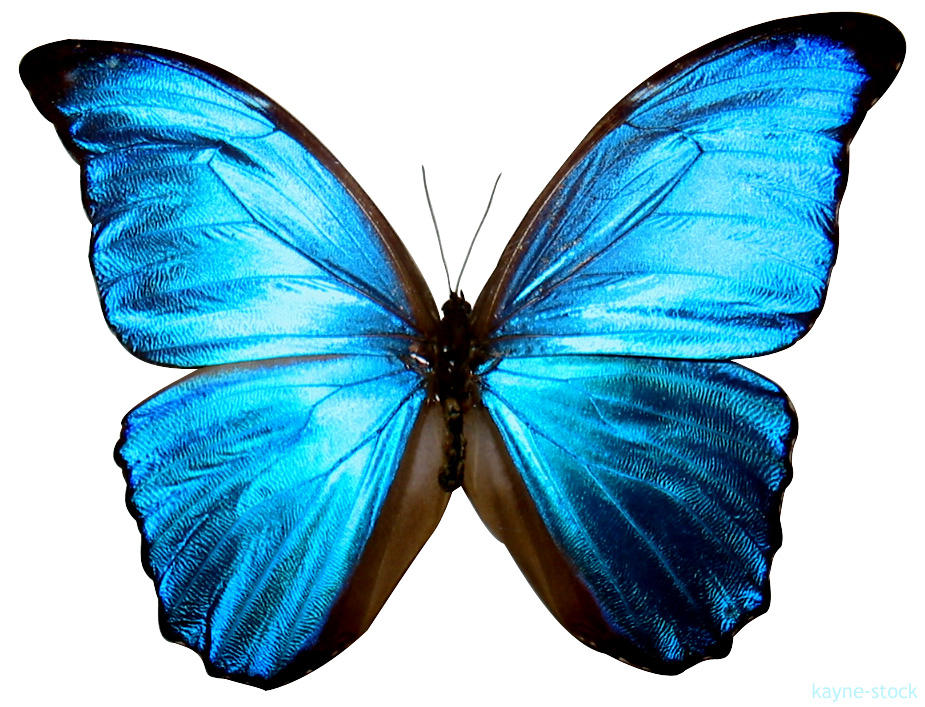 blue butterfly group - photo #1