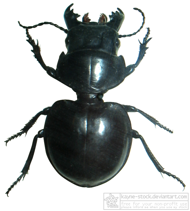 beetle bug black