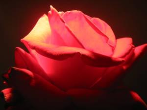Red Rose Glows