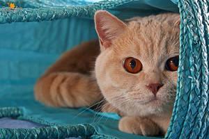 British Shorthair Cat in a blue badge by Kirikina