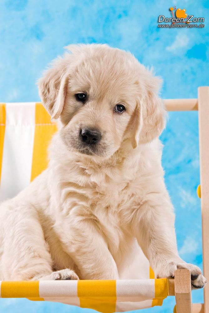 Golden Retriever Puppy by Kirikina