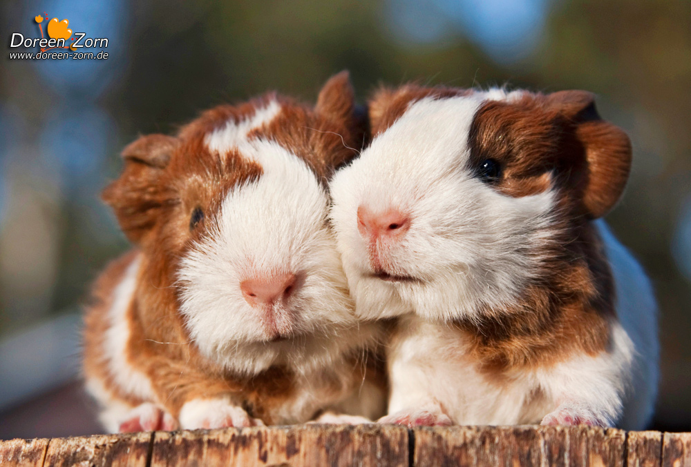 two little guinea pigs sisters by Kirikina
