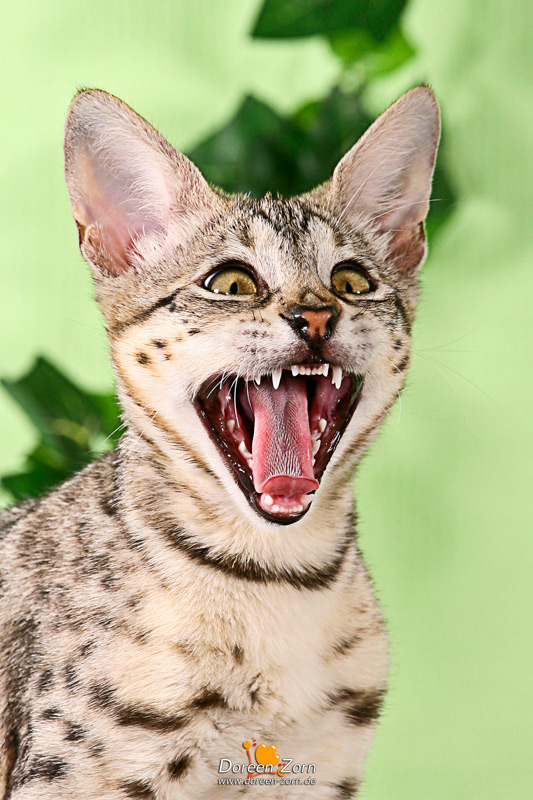 crying Savannah Cat by Kirikina
