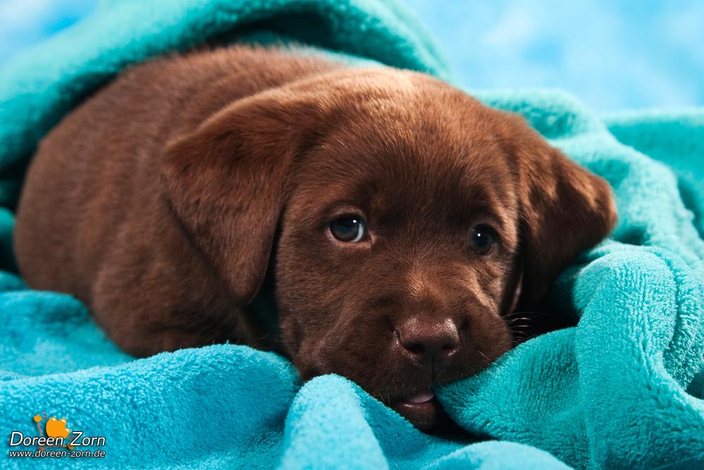 Labrador Retriever Puppy in blue by Kirikina