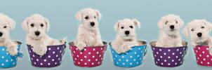 white little schnauzer puppies by Kirikina