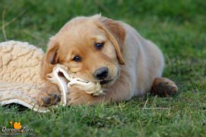 Cute Golden Retriever Puppy by Kirikina