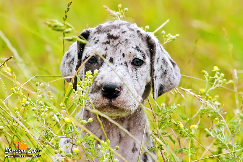Little Great Dane Puppy by Kirikina