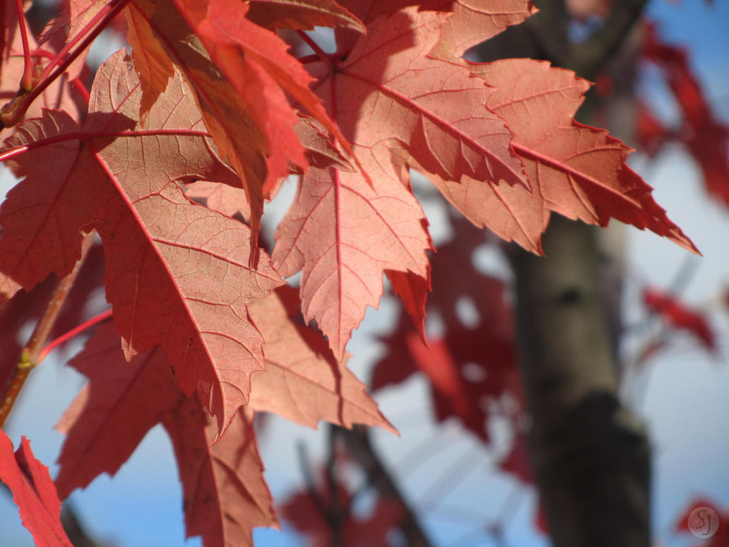 Sanguine Leaves Close-up by KamiMusubi