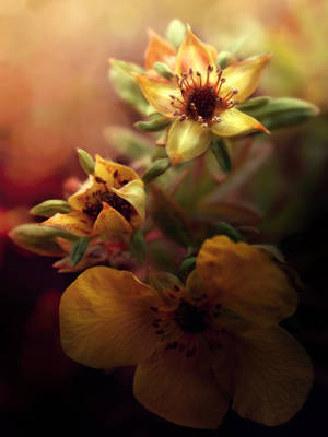 St. Peter's wort | NOVEMBER FLOWER 2011 collection by weronicamc