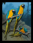 Blue and Yellow Macaws 2