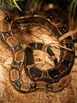 Colombian Red-Tailed Boa II