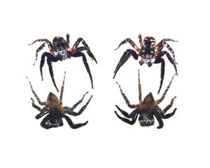 Jumping Spider on Mirror