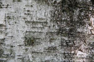 birch bark texture 01 by arkaydo