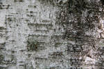 birch bark texture 01