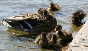 Ducklings by d3lf