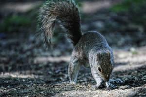Squirrel in Regents Park III by d3lf