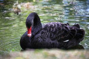 Black Swan by d3lf