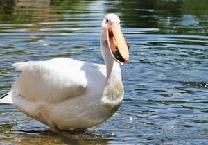 Pelican v Baby duck I