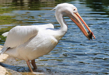 Pelican v Baby duck III by d3lf