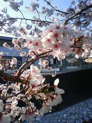 Sakura by tickledpinky
