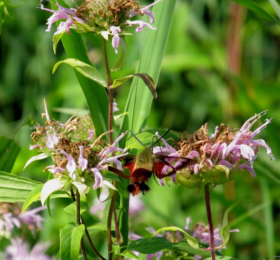 Hummingbird Moth by AliceN101