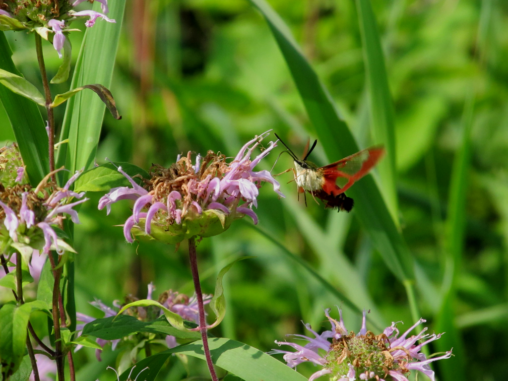 Hummingbird Moth 2 by AliceN101