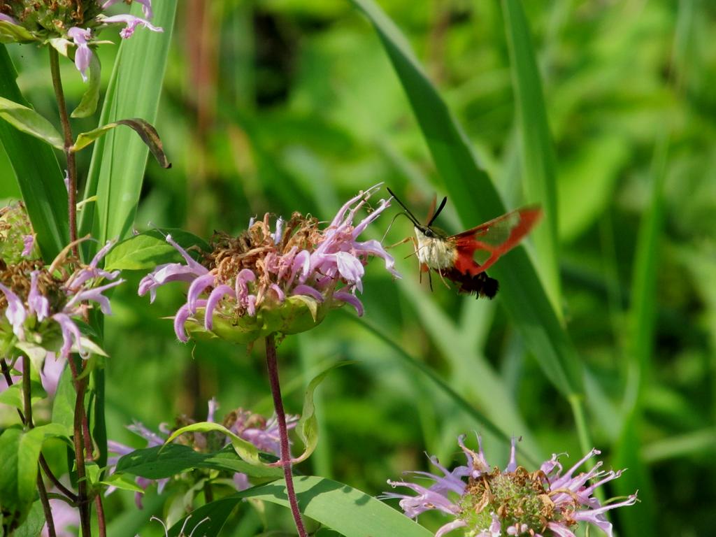 Hummingbird Moth 2 by AliceN101