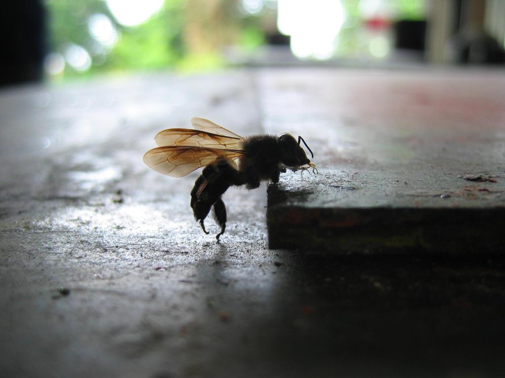 macro bee by goks