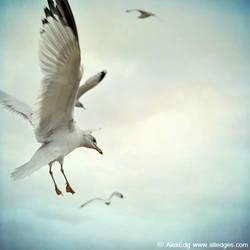 Gull by AlexEdg