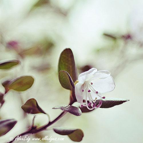 Rhododendron Dauricum - I