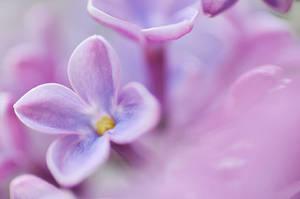 Lilac - I by AlexEdg