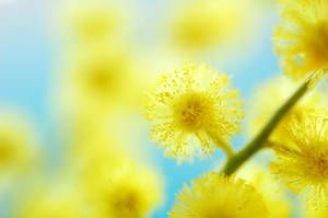 mimosa - II by AlexEdg