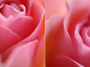 Rose - VIII