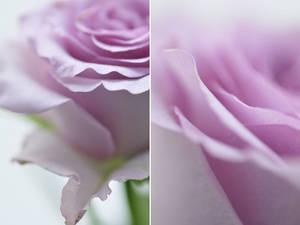 Rose - IX