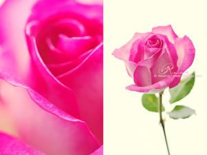 Rose - X