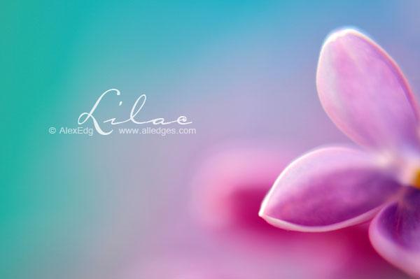 Lilac - III by AlexEdg