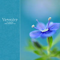 Veronica chamaedrys by AlexEdg