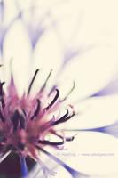 Cornflower. 02 by AlexEdg