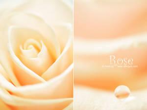 Rose - XIII