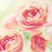 Roses - XVII by AlexEdg