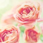 Roses - XVII