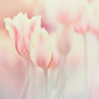 Tulips by AlexEdg