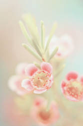 Geraldton Waxflower by AlexEdg