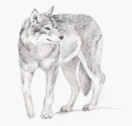 Wolf by Naomi-Black