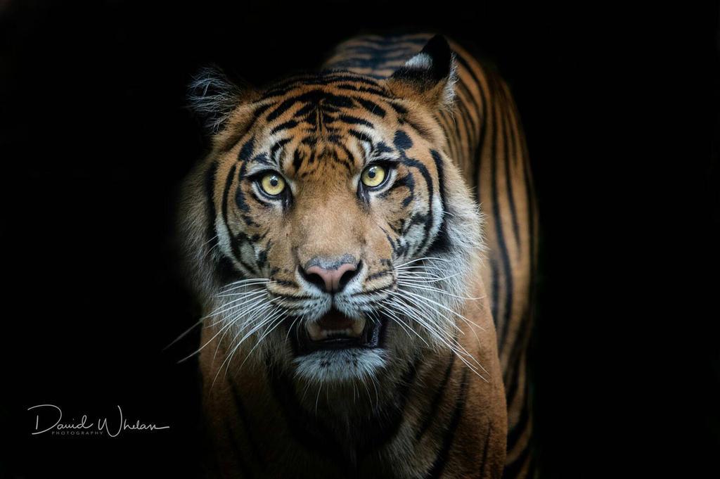 Sumatran Tiger by davidwhelanpgotog