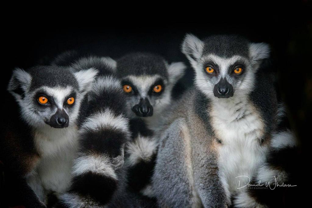 Lemurs by davidwhelanpgotog